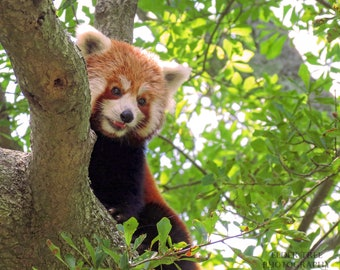 Red Panda Portrait Instant Photo Download, Insta-Photo, Animal Photography, Wild, Furry, Happy, Smiling, Climbing, Tree, Cute, Adorable