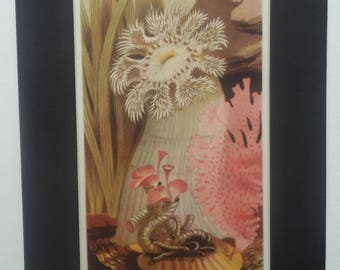 Vintage Marine Life Print 1946 - Plumrose Anemone with Serpulid Tube-Worms - Matted - Ready to Frame