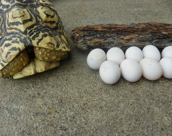 Cruelty Free • Imperfect Leopard Tortoise Eggs | Chelonia Turtle Chelonian Shelled Shell Reptiles Reptile Herp Herps | Taxidermy Specimen