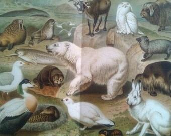 """Chromolithograph """"Arctic fauna"""""""