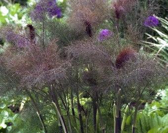 Bronze Fennel Herb Seeds (Foeniculum Vulgare) 50+Seeds