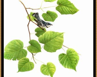 """Cerulean Warbler painted by J F Landsdowne for the book Birds of the Eastern Forest2. The page is approx. 9 1/2"""" wide and 13"""" tall."""
