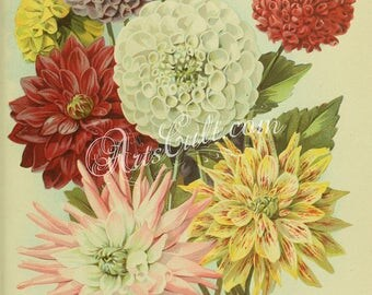 flowers-32260 - Dahlias assorted colors, Dahlia Cactus assorted colors vintage illustration from old book page printable image bouquet jpeg