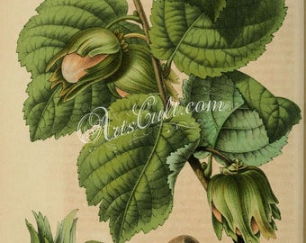 plants-08968 - corylus avellana, Common Hazel, cob nut branch with leaves and nuts vintage printable book page illustration picture image