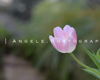 Photography Prints - Pink Tulip