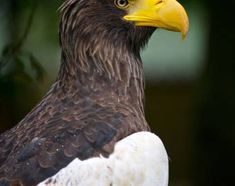 Bird of Prey, Photography, Nature, Nature Photography, Animal Photography, Wall Art, Fine Art Print, Limited Edition, Sea Eagle