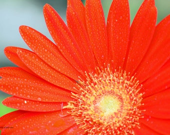Flower Red Photo Print on  Canvas or Poster Wall Art