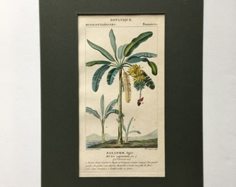 Antique Botanical Print of Banana Trees - Matted - Ready for Framing 8 x 10 - Musa sapientum  - 1829 Rare Hand-coloured Print