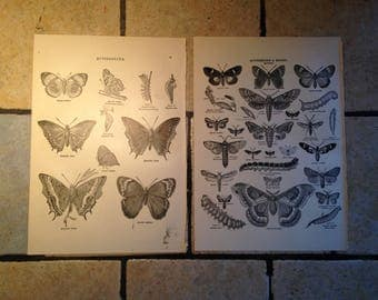 1890 Butterflies and Moths Antique Illustrations