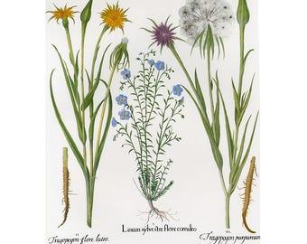 Besler Florilegium Flax Print Book Plate SALE~~Buy 3, get 1 free