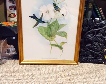 Vintage Hummingbird Lithograph,  John Gould,  Titled Thalurania Refulgens, Gold Wood Frame