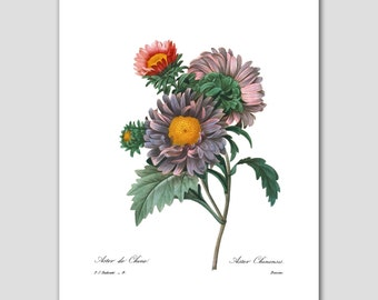 Country Cottage Decor, Asters Flower Wall Art (Botanical Print, Purple Home Decor) -- Pierre Redoute
