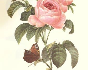 1986 Vintage botanical art Pink Rosa centifolia poster Butterfly poster Cabbage rose print Floral decor French country decor Redoute