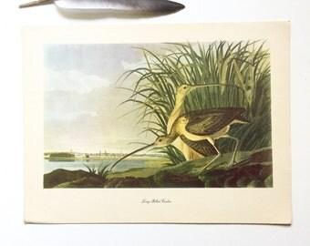Vintage John James Audubon Bird Print / Long-billed Curlew / Vintage Natural Science Home Decor / Art Illustration / Great for Framing /9x12