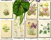VIOLET-2 Collection of 100 vintage images botanical pictures High resolution digital download printable 300 dpi viola pansies violettes