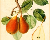 Antique French Botanical Illustration of Pear | Vintage Floral Archival Home Decor A4 Art Print | Hand-colored Copper Engraving by Poiteau