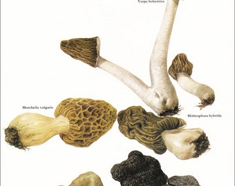 mushroom fungi Morchella truffle Verpa Bohemica vintage botanical art print food kitchen decor by Marilena Pistoia 8 x 11 1/4 inches