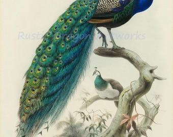 "D G Elliot ""Family of Pheasants"" 1872 Reproduction Digital Print Birds Bird Print Peacock"