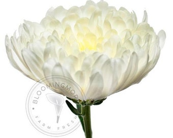 Disbud Cremon Chrysanthemums - Natural Colors FREE SHIPPING