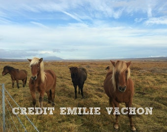 Beautiful Icelandic Horses Image JPEG Download