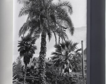 Canvas 24x36; A Big Palm Tree (Phoenix Reclinata) In A Los Angeles Park, Ca.1920 (-2731)