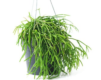 """Amazing hair look  """" Rhipsalis pulchra """" by Joinflower Joinfolia"""