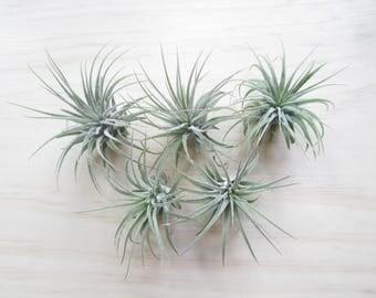 """Tiny Air Plant 1-2""""-Tillandsia Air Plants-Terrarium Air Plants-Terrarium Supplies-Home Decor-Beach Wedding Decor-Terrarium Plants"""