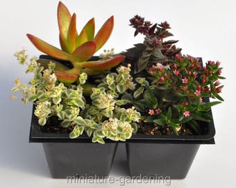 Purple Rain, Succulent Collection for Miniature Garden, Fairy Garden