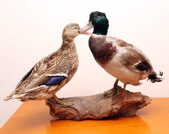 Beautifully Preserved Vintage Male Mallard Duck & Female Mallard Duck Taxidermy Mount