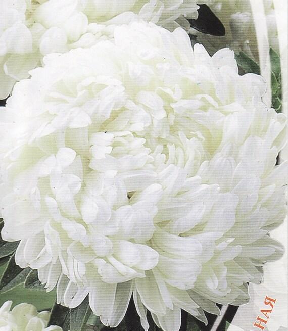 annuelles fleurs graines pivoine nymphe aster de lukraine. Black Bedroom Furniture Sets. Home Design Ideas