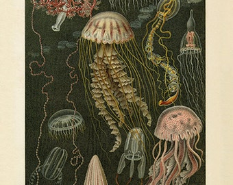 Gorgeous Jellyfish Art Print - Antique Style-Style Wall Art - Museum Quality