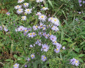 5 Smooth blue aster plants. Large plant. Aster laevis. Chemical free.
