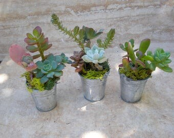 Set of 3 - Mini Succulent Bucket, wedding favors, birthday favors, corporate gifts, hostess gift, garden decor, unique gifts, succulents