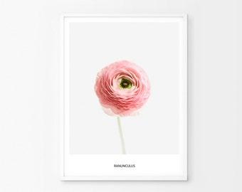 Ranunculus Print, Ranunculus Flower, Ranunculus Decor, Ranunculus Printable, Ranunculus Wall Art, Ranunculus Poster, Modern Flower Art