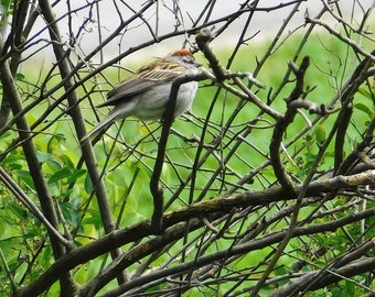 """8"""" x 10"""" Chipping Sparrow Print for sale!"""