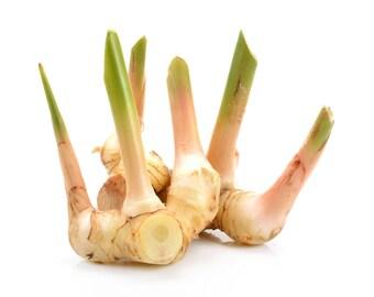 3 Rhizomes Greater Galangal Alpinia Galanga Ginger Root Plant Rhizome Special for Grow Plants