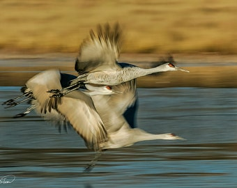 Canvas Ready to Ship: 12x18-- Sandhill Cranes, Bird Abstract, Rustic, Bosque del Apache, New Mexico, Nature Photography, Steve Traudt