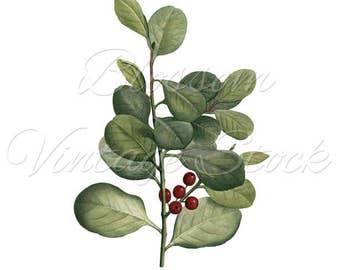 Leaves Botanical Print, Vintage Wall decor, Green Plant, PNG Leaves Digital Antique Illustration  INSTANT DOWNLOAD - 2338