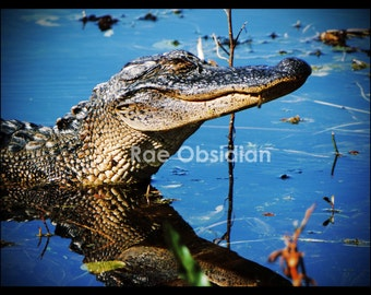Alligator--Photography--Wall Art--Decor