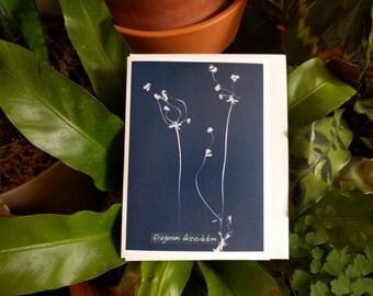 Cyanotype Plant- Eriogonum Fasciculatum