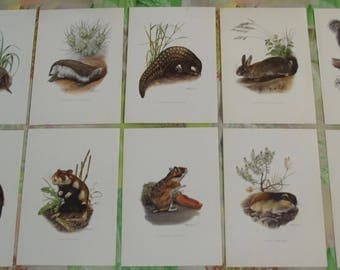 10 old boards posters 19 x 27 cm the Roussatre Vole, the Lemming, the Beaver, the Hamster, the Gray Squirrel, Pangolin, Armadillo
