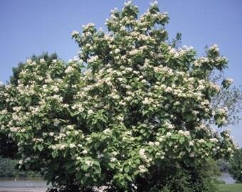 Northern Catalpa Tree