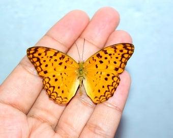 Spread Real butterfly Phalanta phalantha, beautiful butterfly, medium butterfly, real insect, taxidermy insect, entomology