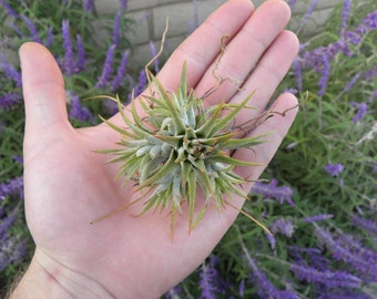 Tillandsia Ionantha mexican clump air plant