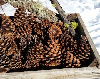 20 Northwest Montana Large Ponderosa Pinecones 4-6 inches