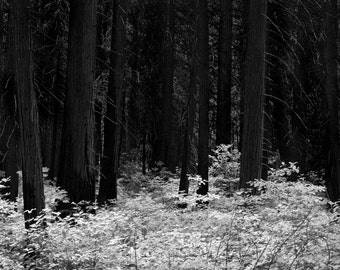 Redwood Forrest, Yosemite, foiliage, springtime forrest, dark woods, fine art print, black and white print, photography