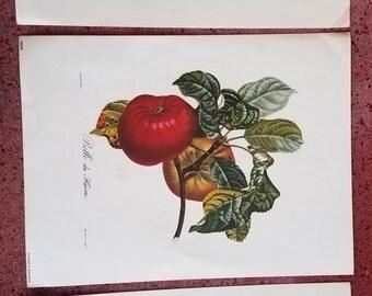Set of 3 vintage prints of fruit