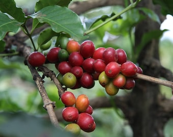 10 Coffee Tree Seeds - Coffea Arabica - Grow Your Own Coffee Tree - Combine Shipping!