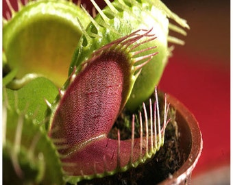 50 Venus Fly Trap Seeds - Carnivorous Dionaea Muscipula Flower Seeds - Fresh Seeds (US ONLY)