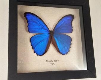 Real butterfly framed - Morpho didius